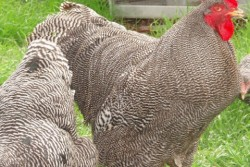 Comps Poultry